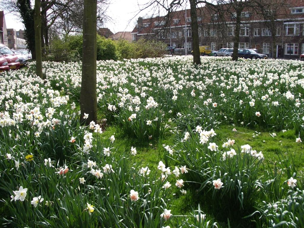 Mostly Daffodils, Leiden, NL