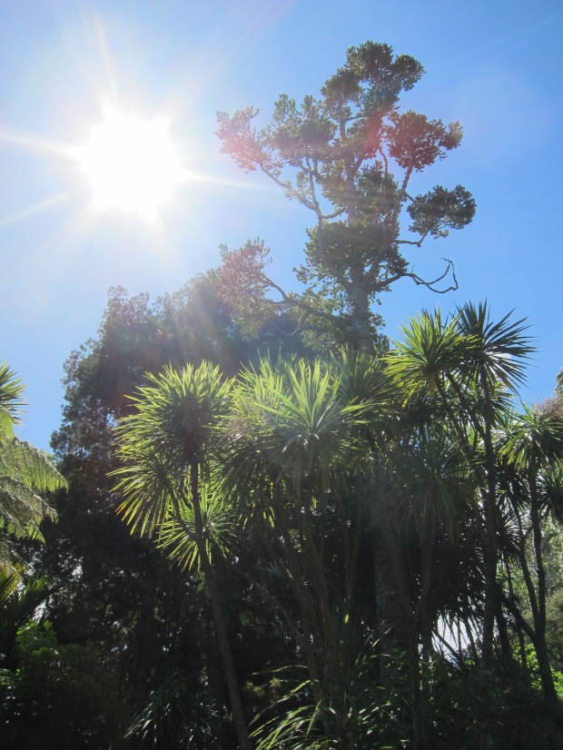 Cabbage trees, with Kauri