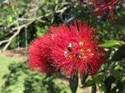 Pohutukawa blossom, detail