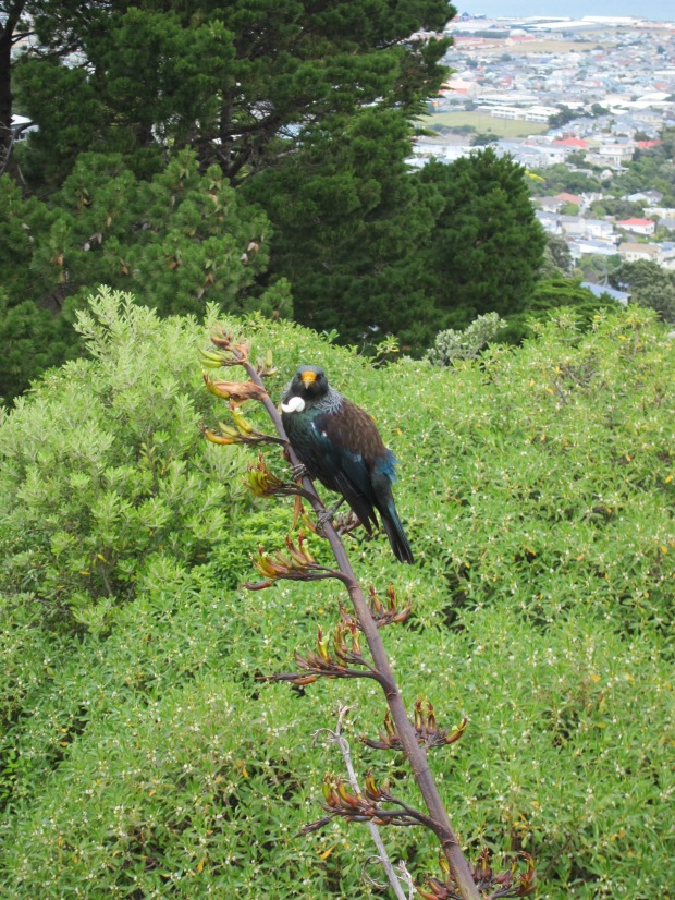 Tui, looking south, Mt Victoria Lookout