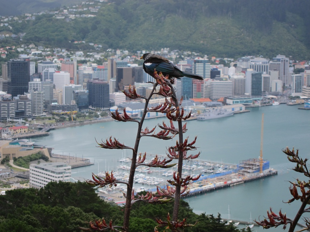 Tui, looking north, Mt Victoria Lookout