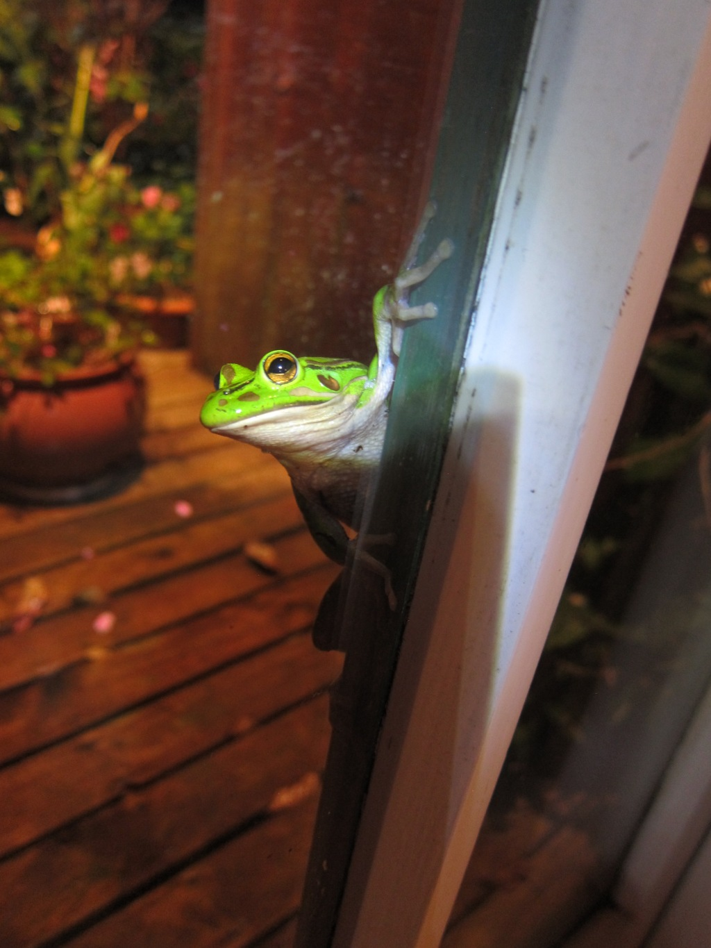 Tree frog stops by